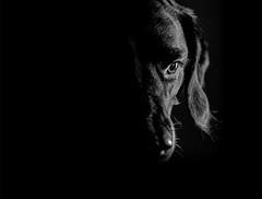 Phoebe (Mark Frost :)) Tags: canine eye black white blackandwhite mono conversion canon 1ds mk3 dark light flash photography shallow dof depth field depthoffield labrador cross crossbreed