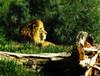 Lion in Wait (bethrosengard) Tags: bethrosengard photomanipulation digitallyenhanced photoart digitalmagic digitalart