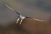 Final Approach 2 - IMG_4314 (arvind agrawal) Tags: whitetailedkite kite birdofprey birdinflight finalapproach hayward canon1dx canon600mmf4ii arvindagrawal