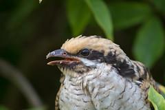 Pacific koel (Eudynamys orientalis)-9819 (rawshorty) Tags: rawshorty birds australia nsw portmacquarie