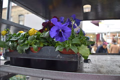 DSC_9356 Columbia Road Sunday Flower Market Pansy Plant (photographer695) Tags: columbia road sunday flower market pansy plant