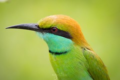 Beautiful Bee-eater (Pastel Frames Photography) Tags: srilanka beeeater birds birdphotography nature udawalawenp canon5dmark3 tamron150600mm travel photography colorful