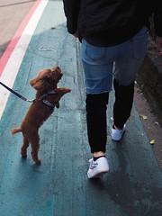 Always wanna get mommy's hug (TAIPEI TAIWAN) (Wan.L) Tags: プードル ペット 寵物 人 紅貴賓 台北 台灣 people streetview streetphoto streetphotography street m43 olympus animal doggy dog puppy poodle sister pet asia taiwan taipei