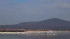 135,000 Snow Geese (snooker2009) Tags: bird waterfowl nature wildlife migration spring winter geese snow snows flock water flight group bunch
