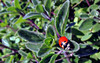 Three-banded lady beetle (TJ Gehling) Tags: insect coleoptera beetle coccinellidae ladybug ladybird ladybeetle threebandedladybeetle threebandedladybug coccinella coccinellatrifasciata coccinellatrifasciatasubversa plant flower lamiales lamiaceae coyotemint monardella monardellavillosa moeserhillside pge elcerrito