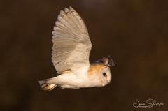 In Flight (JDS-photo) Tags: barnowl tytoalba bird birdinflight birdofprey wildbarnowl wildowl wildlife nature barny lightroom canoneos80d canonef400mmf56lusm
