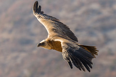 Fin de journée - End of the day (bboozoo) Tags: nature wildlife griffonvulture vautourfauve canon6d tamron150600 montagne mountain