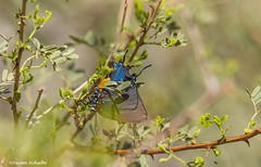 A glimpse of a beauty (Photosuze) Tags: butterflies insects lepidoptera bugs pollinators pollination colorful hairstreaks greatpurplehairstreaks
