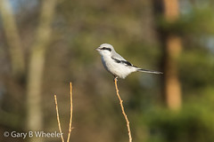 Great Grey Shrike (Ponty Birder) Tags: g b wheeler pontybirder garywheeler gloucester shrike birds forestofdean