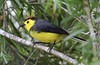 Collared Redstart = Collared Whitestart (Myioborus torquatus) (Frank Mantlik) Tags: collaredredstart collaredwhitestart myioborustorquatus costarica