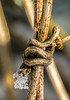 Knotted vine (docoverachiever) Tags: plant macro winter backyard nature knot ice snowcrystals clematis lessthananinch vine
