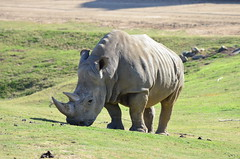 DSC_4351 (Andrew Nakamura) Tags: animal mammal rhino rhinoceros whiterhinoceros southernwhiterhinoceros southernwhiterhino grazing sandiegozoosafaripark safaripark escondido