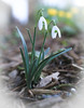 Snowdrops (Mark Birkle) Tags: galanthus nivalis snow drops snowdrops flower winter white lance shaped leaves teardrop small head petals picture image photo naturalized tepals early bloom first flowers