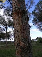 Arborea-Pineta-particolare tronco-27.02.18 (Direzione generale) Tags: 27022018 arborea stir oristano