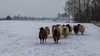 Sheep (BraCom (Bram)) Tags: bracom bramvanbroekhoven ice ijs sneeuw snow winter melissant zuidholland nederland nl sheep schapen animal dier netherlands holland southholland tree boom cottage huisje meadow weiland cold koud fence hek goereeoverflakkee car auto gray grijs
