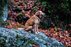 blending in (philippbenji) Tags: dog stray forest leaves winter rock blending brown nature milies pelion greece