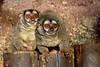 noćni majmun (Aotus trivirgatus / Three-striped Night Monkey / Östlicher Graukehl-Nachtaffe) (Hrvoje Šašek) Tags: noćnimajmun aotustrivirgatus threestripednightmonkey östlichergraukehlnachtaffe sisavac mammal primat primate northernnightmonkey northernowlmonkey zagreb zoološkivrtgradazagreba zoologicalgardenofzagreb zoološkivrt zoologicalgarden životinja animal priroda nature park maksimir perivoj hrvatska croatia zagrebzoo zoo portret portrait croazia kroatien closeup d810 oči eyes