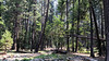 Sequoias VIII (frantyky) Tags: eeuu usa naturalpark costaoeste westcoast eastcoast trees paisaje yosemite viaje california parquenatural trip sequoias ladscape árboles vacaciones naturaleza