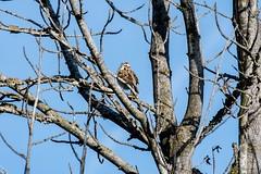 2017 Lark Sparrow 7 (DrLensCap) Tags: temecula california lark sparrow ca bird robert kramer