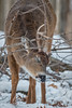 ScratchingPost (jmishefske) Tags: 2018 nikon halescorners d500 scratch whitnall milwaukee january antler wildlife rack wisconsin park whitetail rubbing rub deer buck
