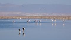 150 Laguna de Chaxa+ los flamencos (roving_spirits) Tags: chile atacama atacamawüste atacamadesert desiertodeatacama désertcôtier küstenwüste desiertocostero coastaldesert