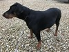 Female Black And Tan Dobermann Pinscher Gabbana (firehouse.ie) Tags: hund chien hind perro dogs animals dog k9 girl gabbana tan black female pinscher pinschers dobermans dobermanns doberman dobermann dobies dobie dobeys dobey dobes dobe