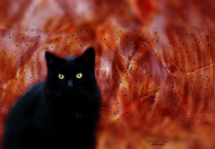black cat (mariola aga) Tags: cat black yellow eyes closeup doubleexposure tilt orange red animal art coth alittlebeauty coth5 bestofcats saariysqualitypictures thegalaxy