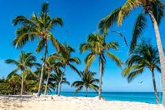 Palmtrees (Andre's fotocarrousel) Tags: 2016 amerika cuba sonya7rii palmtrees palmiers palmbomen arvoresdepalma