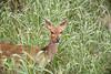 Hey! (-savoche-) Tags: bushbuck krugerpark mpumalanga southafrica za
