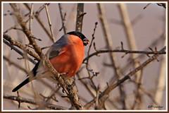 Bouvreuil pivoine 180206-01-P (paul.vetter) Tags: oiseau ornithologie ornithology faune animal bird bouvreuilpivoine pyrrhulapyrrhula eurasianbullfinch camachuelocomún domfafe gimpel