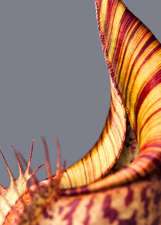 Nepenthes eymae