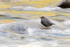 American Dipper (www.lirongertsman.com) Tags: americandipper dipper dippers americandippers cinclusmexicanus aquatic aquaticsongbird pacificnorthwest vancouver metrovancouver lowermainland greatervancouver britishcolumbia canada bc bird birds birding birdphotography birdwatching nature naturephotography natural wildlife wild wildlifephotography animal animals canon canon7dmarkii canoneos7dmarkii 7dmarkii canonef100400mmf4556lisiiusm canon100400mm canon100400mmii river rivers stream streams water waters forest forests tree trees winter