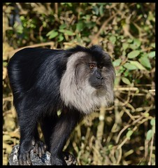 Lion tailed monkey (Indianature st2i) Tags: ltm liontailedmonkey liontailedmacaque macacasilenus ltmvalparai wildlife valparaiwildlife valparai anamalais anamallais anamalaitigerreserve westernghats tea shola rainforest nature indianature 2018 january february tamilnadu india life plantation forest people estate