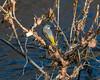 Grey Wagtail (Habitualmurph) Tags: wildlife ireland birds sigma120400mm canon70d kildare riverliffey wagtail grey
