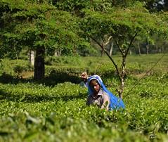 Plucking tea (victoriaei) Tags: india darjeelingdistrict gorkhaland green asia autumn october outdoors view 2016 northeast nature nikon d5300 trees tea teagarden woman worker dooars westbengal