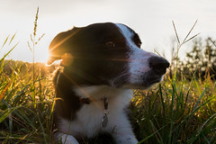 (Kevin Dingfelder) Tags: fuji fujifilm x100t burr oak state park animal dog puppy grass sky field border collie collies pet cute eyes dawn dusk sunset sunrise sun bright ray rays
