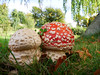 Fly agaric (Amanita muscaria), Dalkeith Country Park (Niall Corbet) Tags: scotland dalkeith countrypark red flyagaric amanitamuscaria fungi fungus mushroom toadstool midlothian