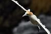 Incoming Gannet (adbecks) Tags: gannet flight new zealand nz muriwai nikon d500 300pf