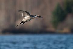 Pintail (westcoastcaptures) Tags: sonya99ii minoltaaf400f45hsg waterbird duck lagoon esquimaltlagoon inflight bif blurredbackground bokeh