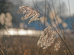 Winter an der Außenalster (alterahorn) Tags: winter gras gräser schilf gegenlicht backlight alster ausenalster hamburg olympus penf mzuiko mzuiko12100mm dxo