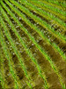 more rice (diagonal) (Armin Fuchs) Tags: arminfuchs japan tokashiki ishigaki okinawa rice diagonal green