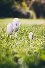 _little guys II (Joana Rieck) Tags: mushroom fungus pilze autumn fall herbst netherlands maastricht grass gras green outdoor canon 600d 50mm field bokeh dew tau waterdrop wassertropfen natur nature natural light