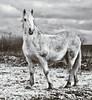 Cheval d'hiver (Natilus.photo) Tags: cheval horse nature hiver snow neige wild liberté freedom blanc white fourrure monochrome black bw noir et toned portrait animal ciel sky