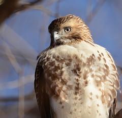 Red-tailed Hawk (JDA-Wildlife) Tags: birds birdsofprey raptors hawks hawkredtailed redtailedhawk nikon nikond7100 tamronsp150600mmf563divc jdawildlife johnny portrait closeup eyecontact whatbirdbestofday wow brilliant