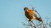 American Kestrel (Bob Gunderson) Tags: alamedacounty california eastbay northerncalifornia pattersonpassroad