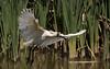 royal spoonbill (Platalea regia)-0085 (rawshorty) Tags: rawshorty birds canberra australia act jerrabomberrawetlands