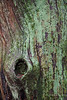 Tree Trunk Detail (Modesto Vega) Tags: nikon nikond600 d600 fullframe tree treetrunk treetrunkdetail lichen green wet treeknot arbol arbolhumedo liquen verde wood madera texture textura