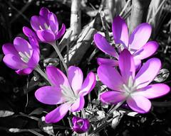 * Grey and Purple (velodenz) Tags: winter crocus purple flower x100f february fujifilm garden velodenz fleur flora bright flore fiori garten flor jardin blum monochrome nature fujifilmx100f england februar fevrier views 2000 2000views repostmyfuji repostmyfujifilm interesting top 20 twenty top20 toptwenty