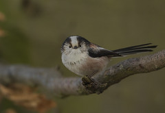 Long tailed tit - The cutest of them all! (Ann and Chris) Tags: longtailed bird cute avian wildlife wild nature tree adorable feathers canon7dmarkii animal