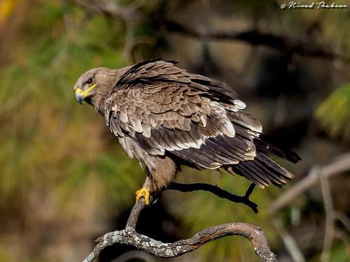 "Steppe Eagle (Lifer) • <a style=""font-size:0.8em;"" href=""http://www.flickr.com/photos/59465790@N04/26389290598/"" target=""_blank"">View on Flickr</a>"